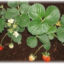 Huerto urbano: Cultivo de fresas (Fragaria x ananassa)