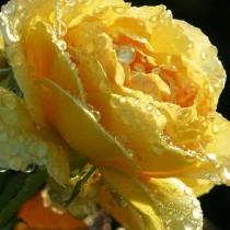 Planta y cuida tu rosal