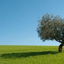 (ES) Cómo y cuándo trasplantar un olivo