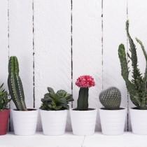 Cómo cuidar un cactus
