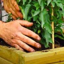 (ES) Videotutorial: Cómo plantar y emparrar una trepadora a una celosía