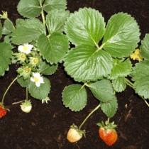 (ES) Huerto urbano: llega el tiempo de las fresas