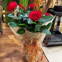(ES) Rosales en maceta, especial Sant Jordi