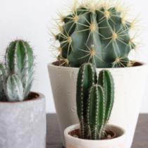 Tiempo de trasplante: cactus y crasas