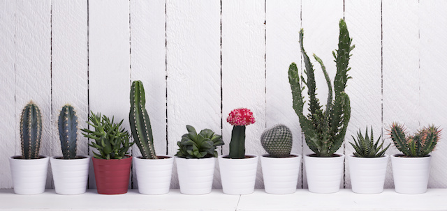 Cuidar cactus de interior y exterior - Cactus de interior ...